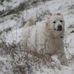 Polish Tatra Sheepdog widescreen