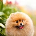 Pomeranian free