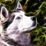 Siberian Husky background