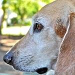 Beagle-Harrier image