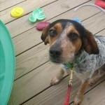 Bluetick Coonhound images