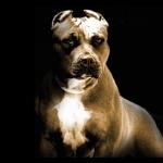 Bull Terrier new photos