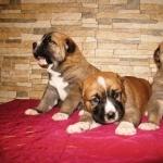 Central Asian Shepherd Dog pics