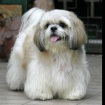 Chinese Imperial Dog images