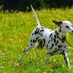 Dalmatian funny