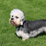 Dandie Dinmont Terrier pics