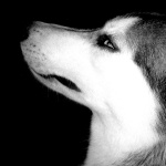 Husky images