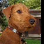 Irish Terrier wallpapers