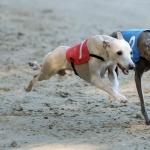 Italian Greyhound funny