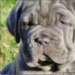 Neapolitan Mastiff widescreen