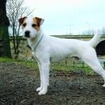 Parson Russell Terrier hd desktop