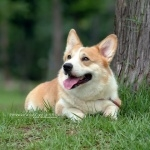Pembroke Welsh Corgi wallpapers for desktop