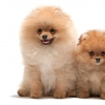 Pomeranian new wallpapers
