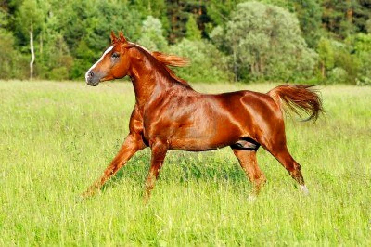 American Quarter Horse Screensavers Download