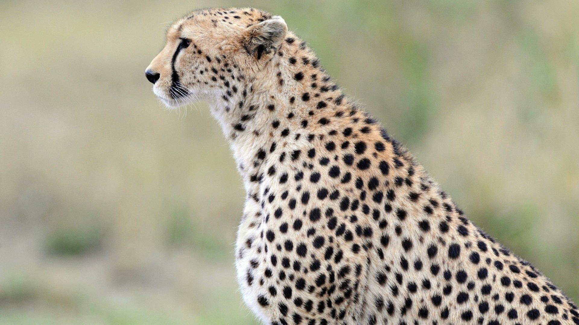 Cheetah Wallpapers HD Download