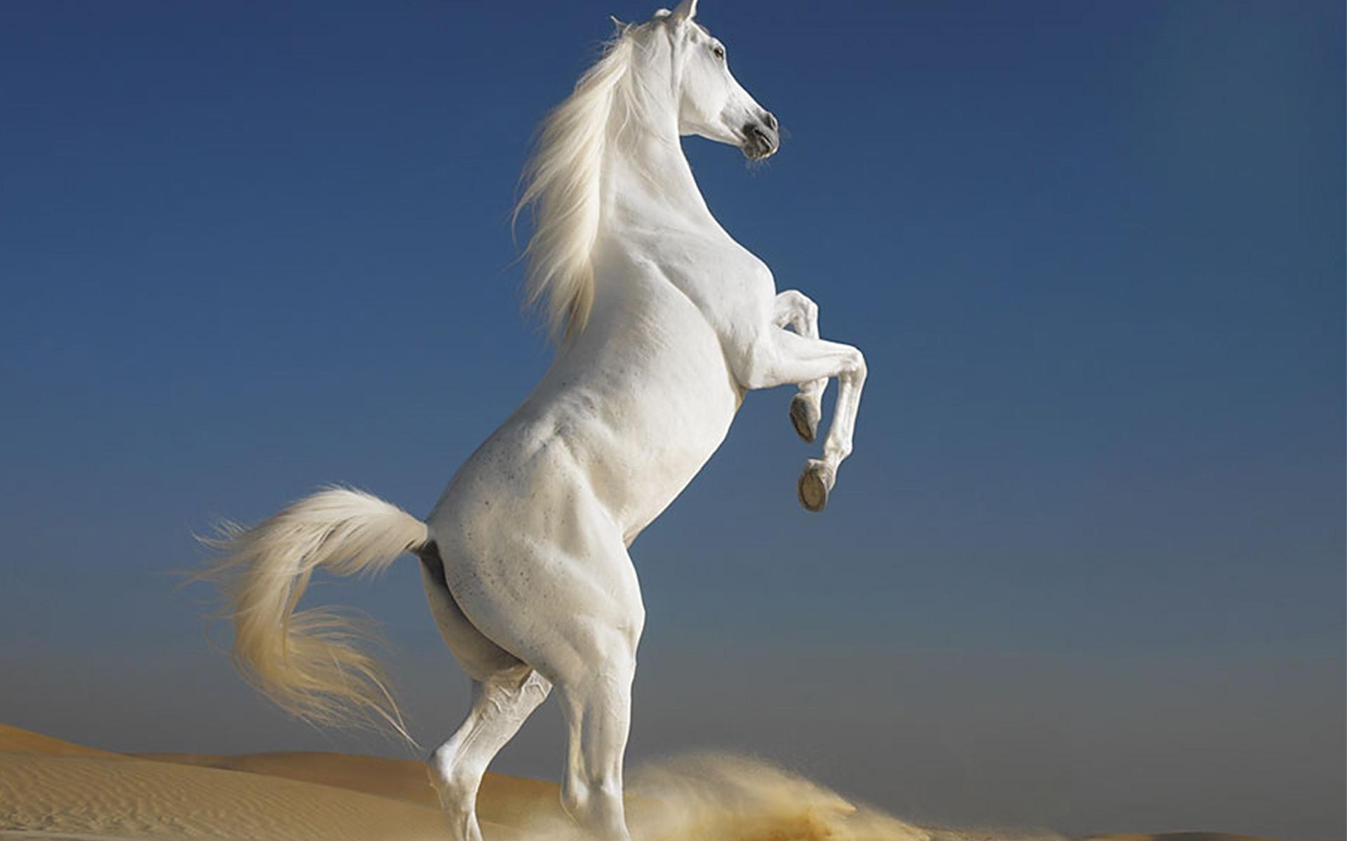 Beautiful horses rearing up