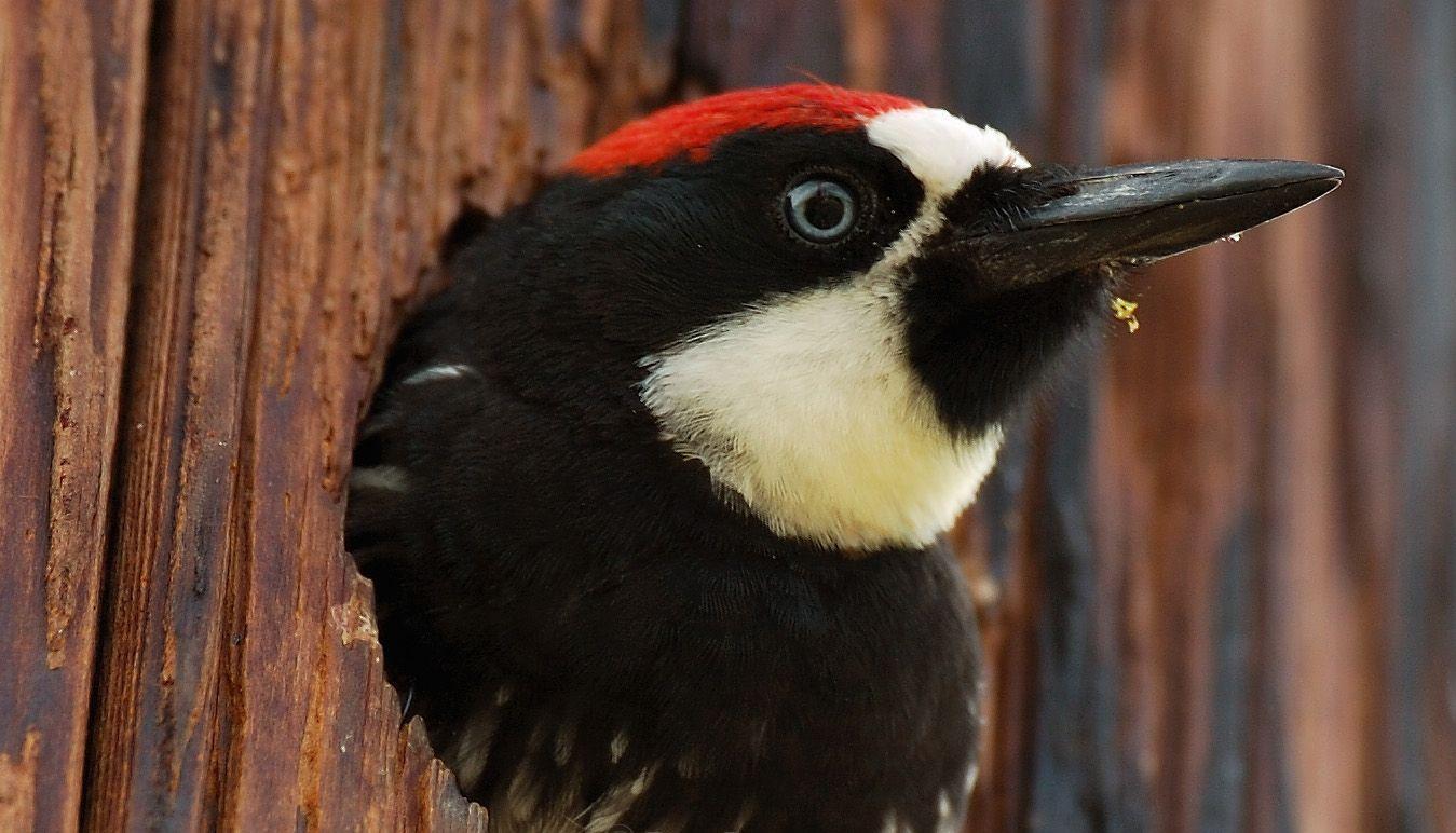 Acorn Woodpecker wallpapers HD