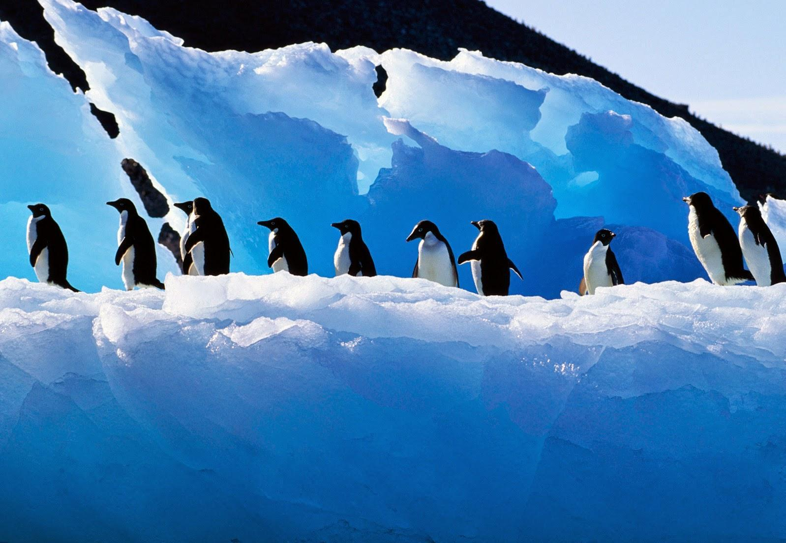 Adelie Penguin wallpapers HD