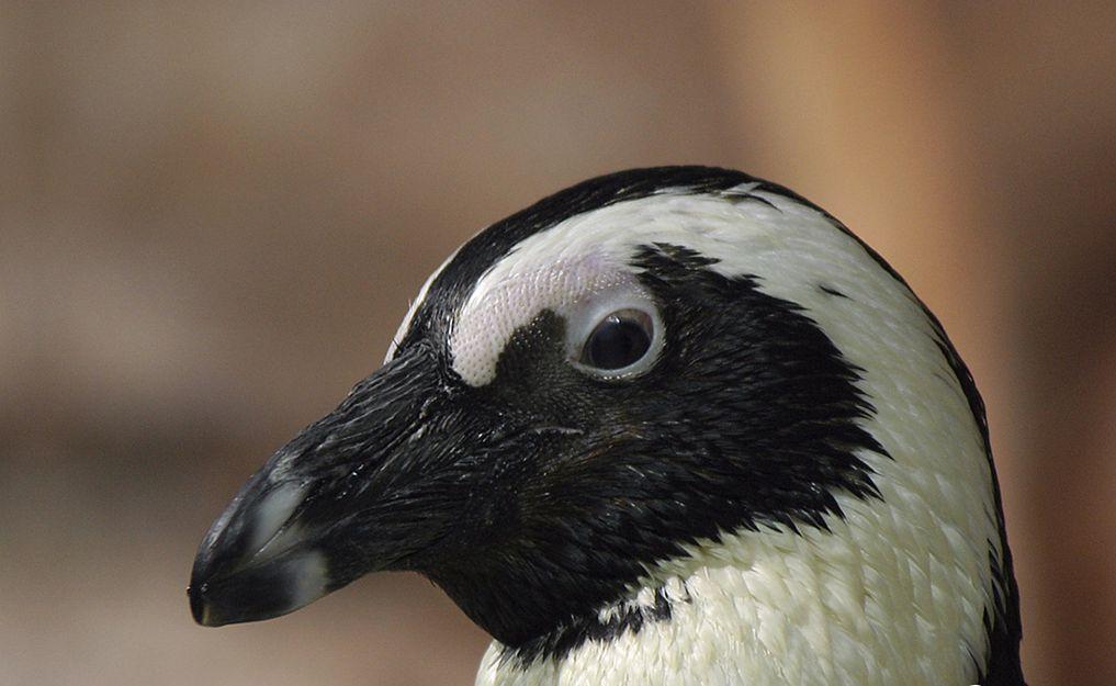 African Penguin wallpapers HD