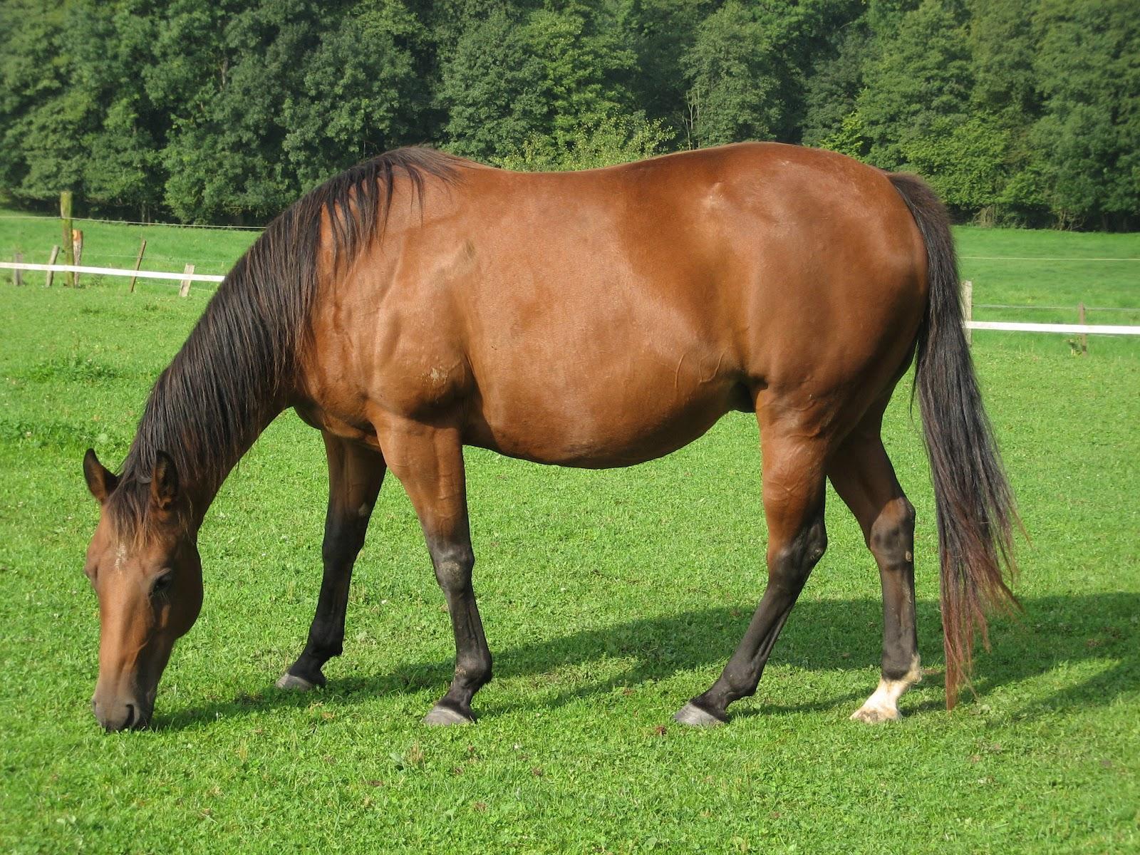 American Quarter Horse wallpapers HD