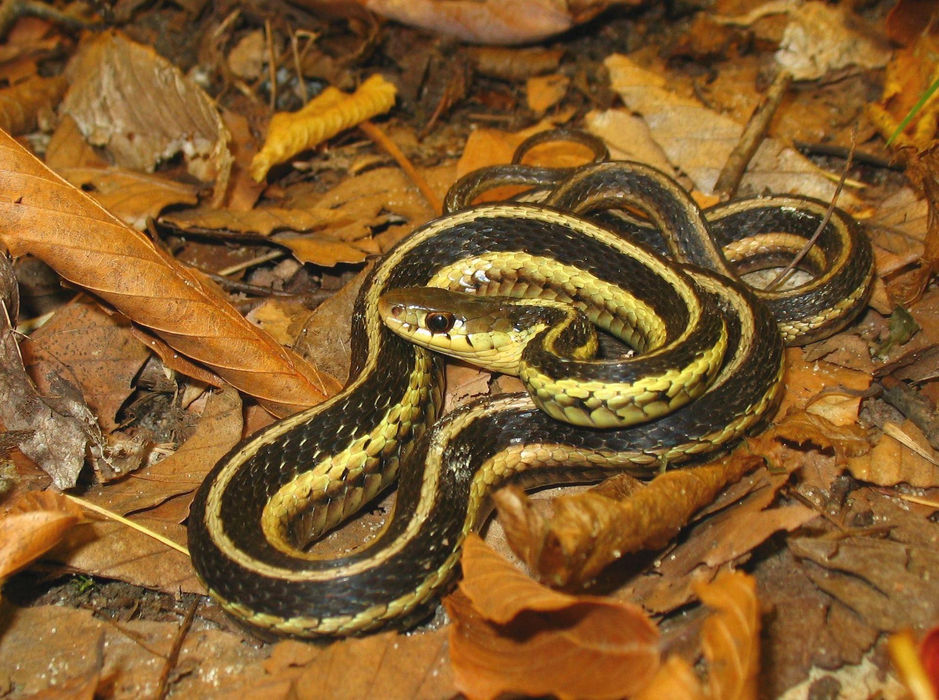Brown Snake wallpapers HD