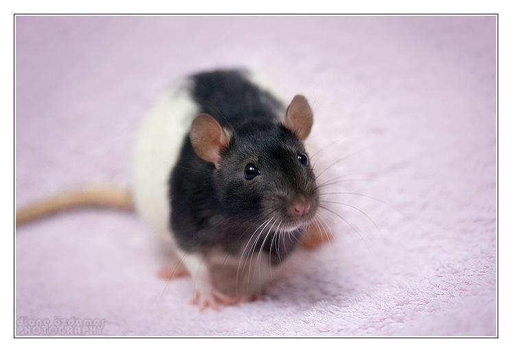 Fancy Rat wallpapers HD