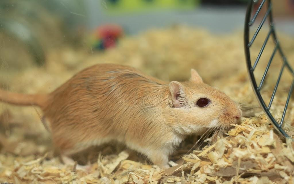 Gerbil wallpapers HD