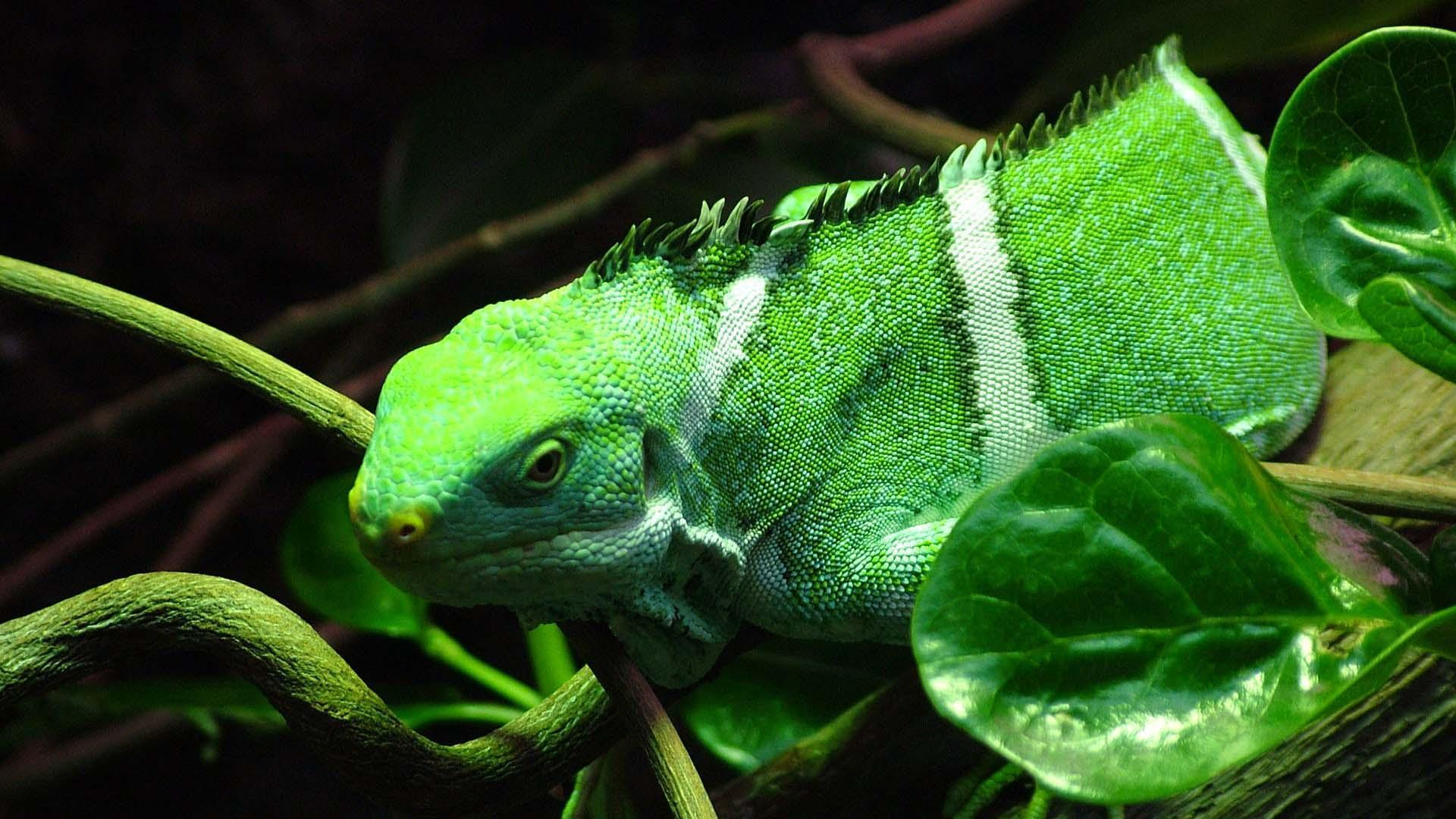 Green Iguana wallpapers HD