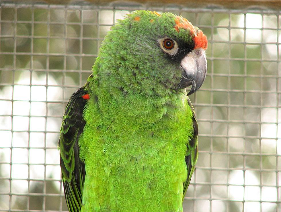 Jardine Parrot wallpapers HD