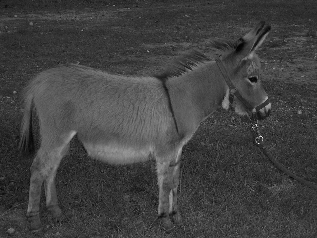 Miniature Donkey wallpapers HD