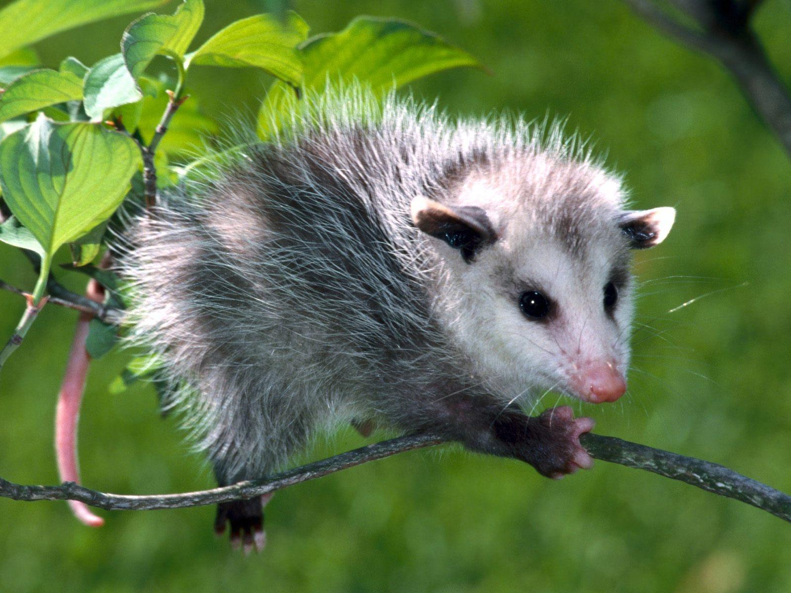 Opossum wallpapers HD