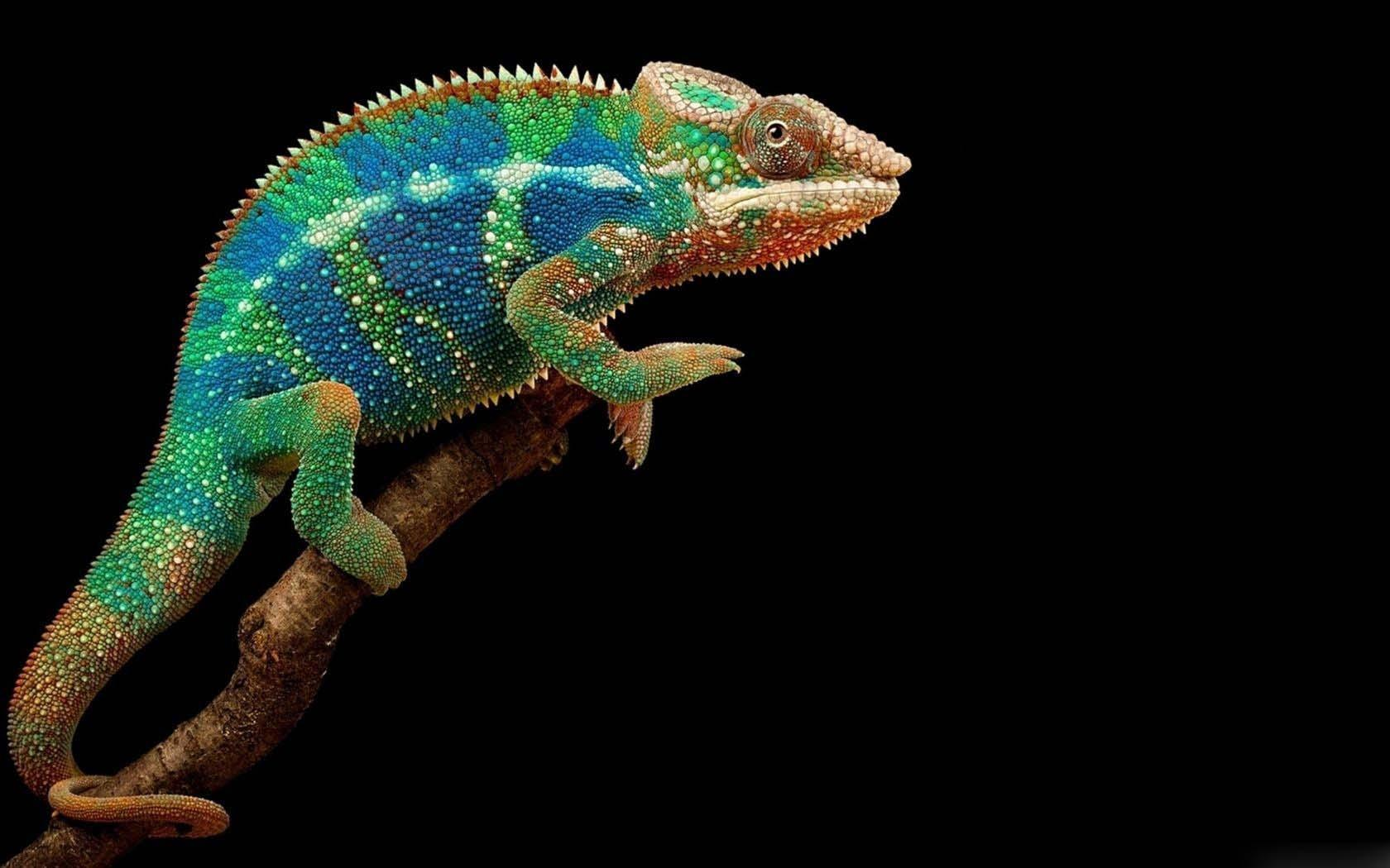 Panther Chameleon wallpapers HD