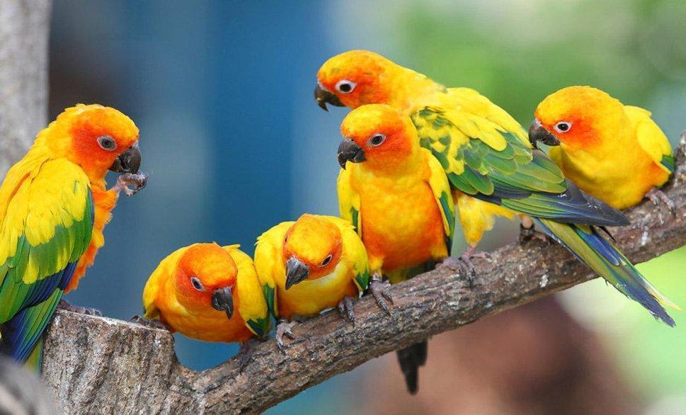 Parakeet wallpapers HD