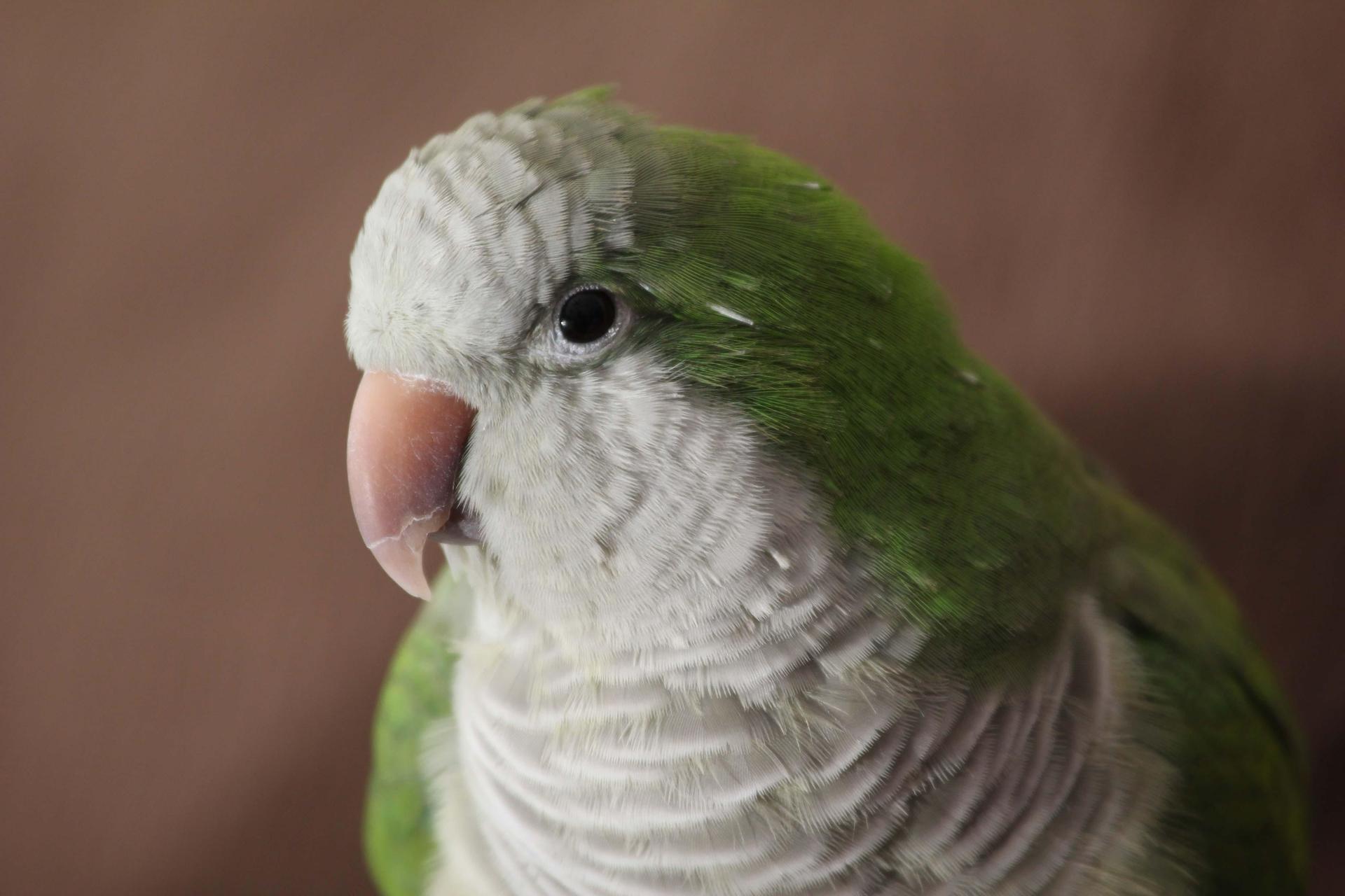 Quacker Parrot wallpapers HD
