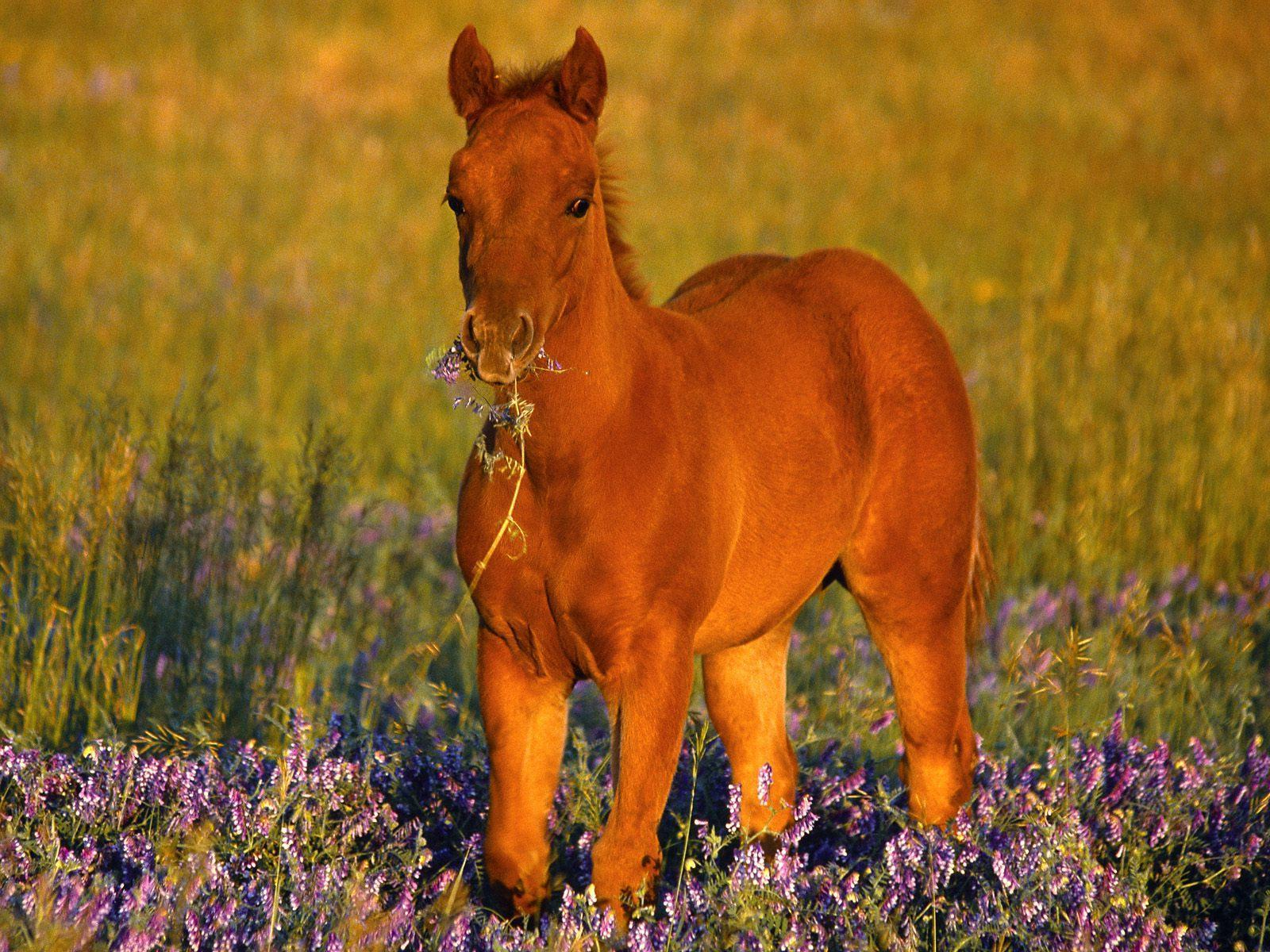 Quarter Horse wallpapers HD