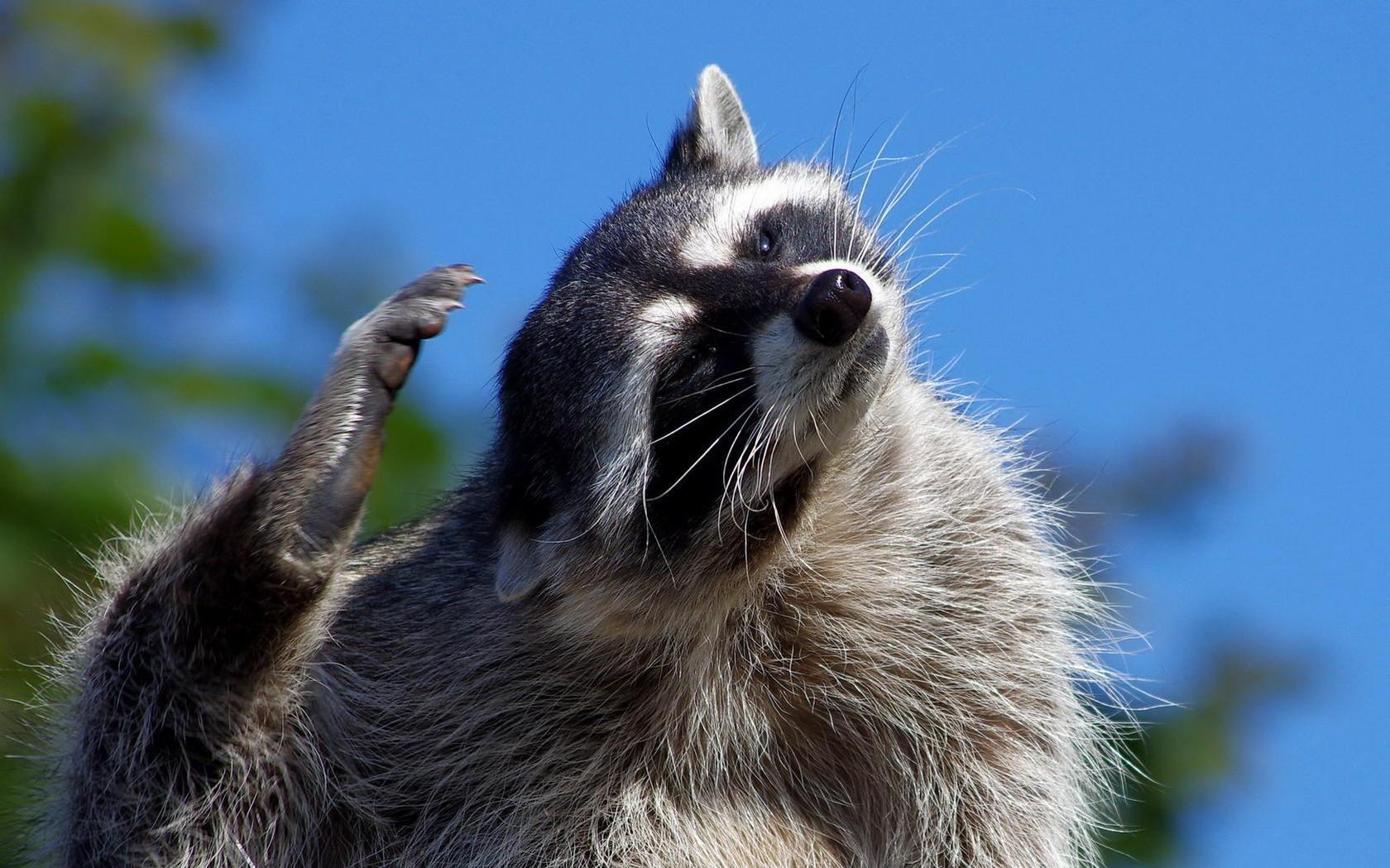 Raccoon wallpapers HD