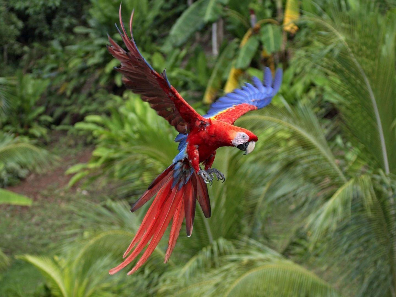 Scarlett Macaw wallpapers HD