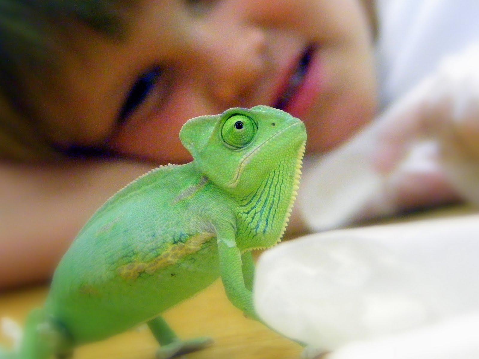 Veiled Chameleon wallpapers HD