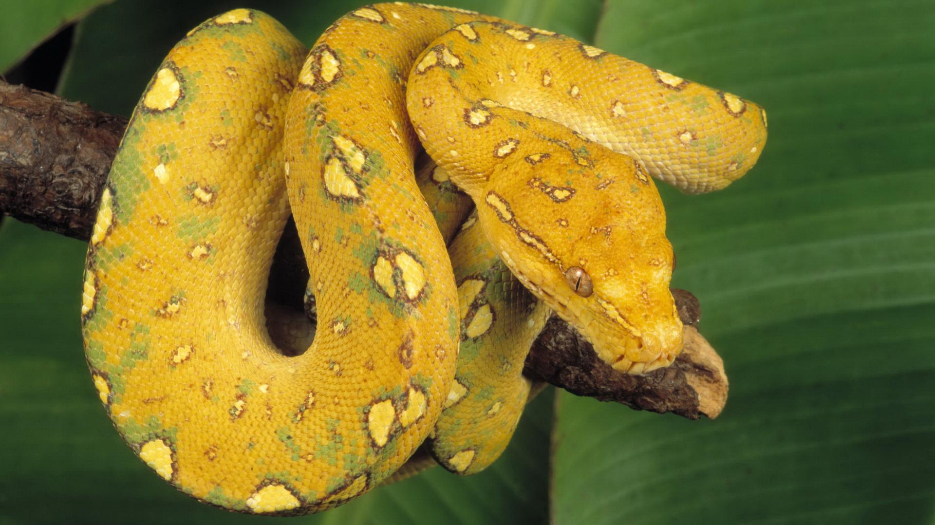 Yellow Anaconda wallpapers HD