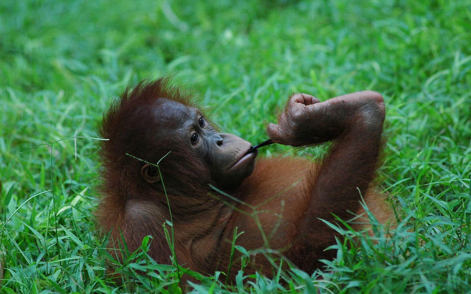 Q Son Los Orangutanes Orangutan Wallpapers H...