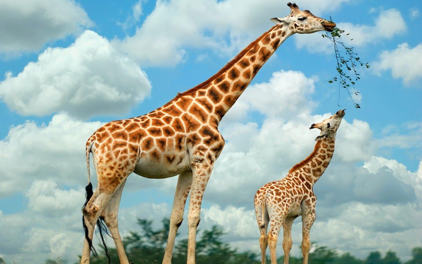 Giraffe Wallpapers HD Download