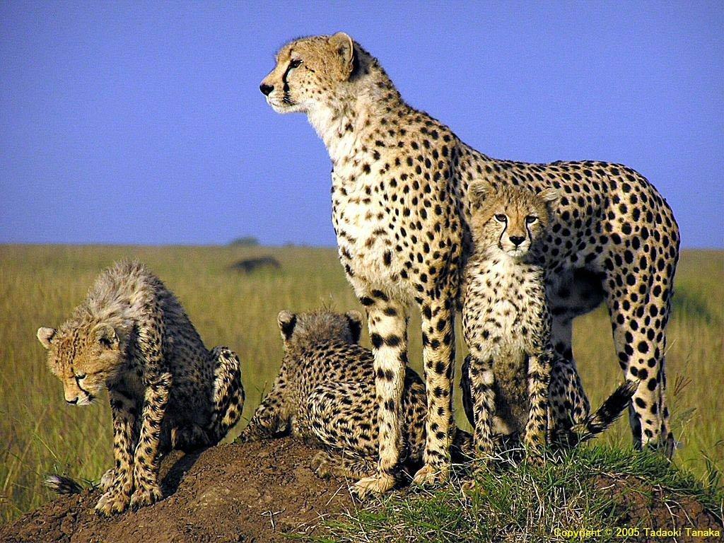 Cheetah Wallpapers For Desktop