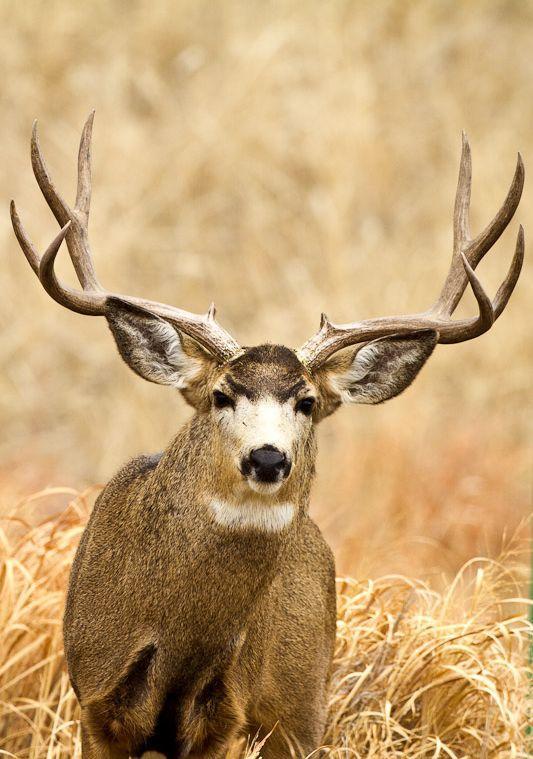mule deer wallpapers hd download