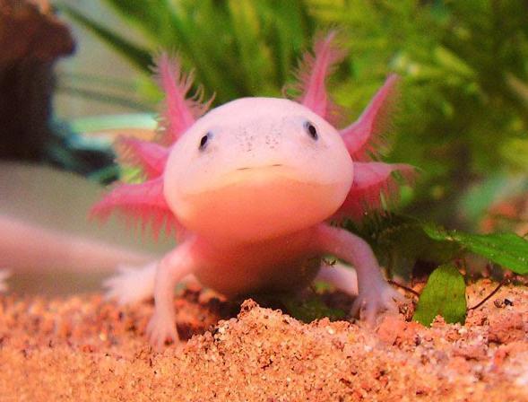 Axolotl Wallpapers HD Download