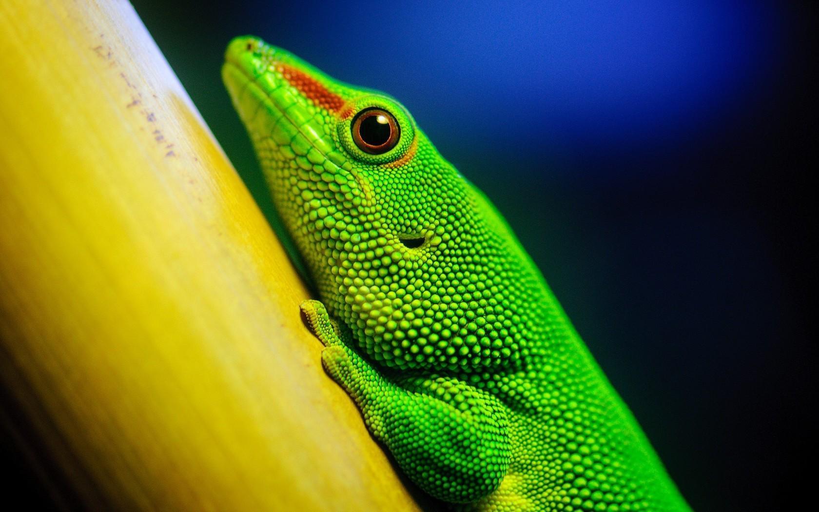 Lizard Wallpapers HD Download