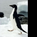 Adelie Penguin free wallpapers