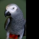 African Grey Parrot hd