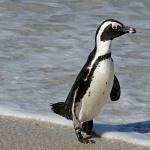 African Penguin 1080p