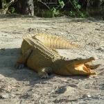 American Crocodile background
