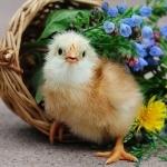 Chicken free download